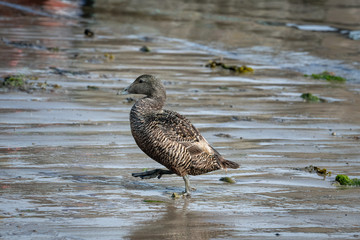 Female Eider Duck walking on the wet sand with reflections
