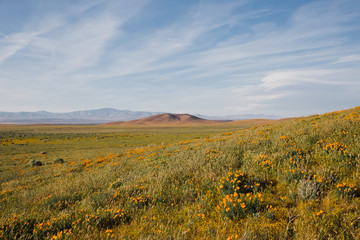 desert landscape with wild flowers and blue sky