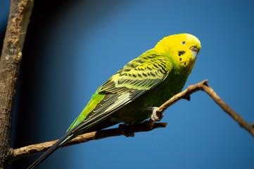 Parakeet in captivity in Colorado Springs, Colorado
