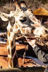 Giraffe being pet by visitor at the Cheyenne Mountain Zoo