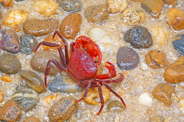 Red land crab (Phricotelphusa limula)(Male) , One of world most beautiful fresh water crabs, It's native only in Phuket island, Thailand. It's also known as Fire-Red crabs or waterfalls crab.Very rare