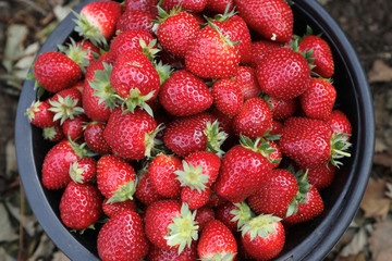 Strawberries are seen after being collected in a farm in Wang Nam Khiao at Nakhon Ratchasima Province