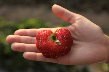 A woman shows a strawberry at a farm in Wang Nam Khiao at Nakhon Ratchasima Province
