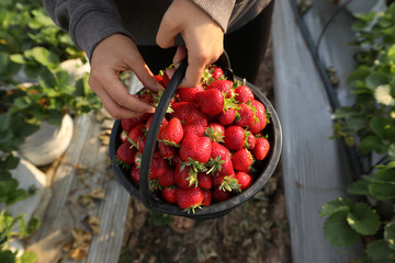 A woman collects strawberries in a farm in Wang Nam Khiao at Nakhon Ratchasima Province