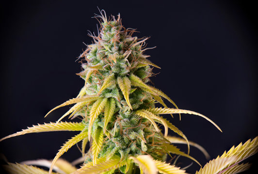 Cannabis flower (Original Pink Gangster marijuana strain) with visible trichomes isolated on black