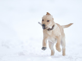 running, playing labrador puppy in winter