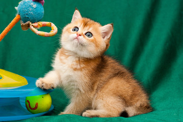 Little Golden British playful cat sitting next to a cat toy and looks up