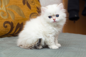 Funny fluffy british longhair kitten golden shaded pointed color is sitting on the couch and looking at the camera