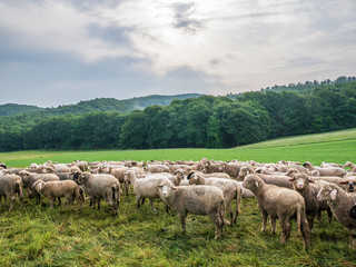 The grazing sheeps on a pasture