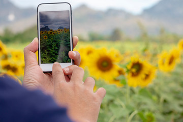 Hand with a smartphone taking photo of sunflowers