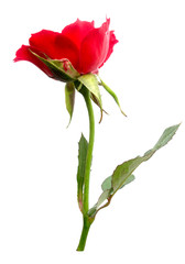 Beautiful red roses isolated with clipping paths on a white background