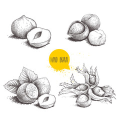 Hazelnut sketches. Group, peeled and whole, with leaves. Engraved sketch style illustrations. Organic food. Component for sweet food and cosmetics. Vector pictures isolated on white background.