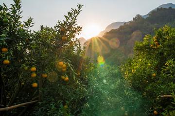 Ripe orange trees in orange farm plantation during sunset. Orange citrus fruits on trees in the garden in Thailand.
