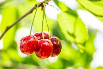 Red sweet cherries on tree in garden