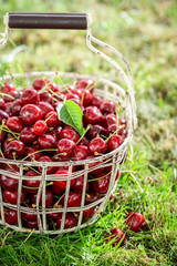Healthy sweet cherries in a sunny day