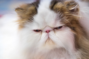 Adorable Persian cat at annual cats show