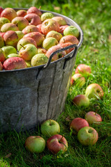 Harvested and washed apples in sunny garden