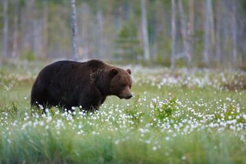 The brown bear (Ursus arctos) female walking in the forest against the light. Big male bear in the finnish taiga.