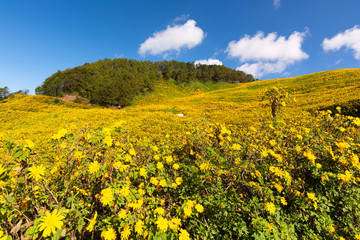 Mexican sunflower blooming in mountain yellow and sky with white clound, Beautiful Lotus fields Doi Mae U-kho, Khun Yuam Mae Hong Son thailand.