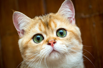 Portrait of charming Golden British young cat's muzzle with green eyes and pink nose