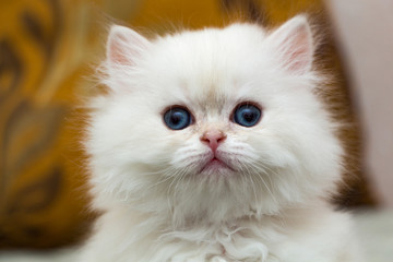 Portrait of a cute fluffy white British long-haired kitten, head of a white kitten close-up
