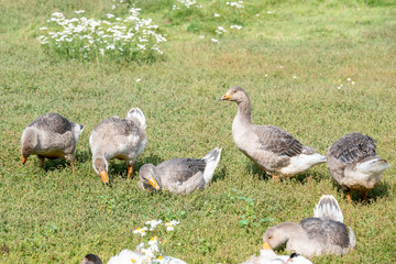 Gray geese walk on the green lawn
