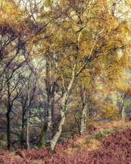 Birch Tree With Autumnal Leaves In Borrowdale, English Lake District.