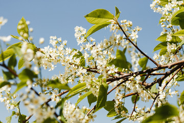 Spring cherry in full bloom blue sky - image