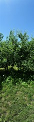 apple trees,and weeds on the agricultural way, horizontal picture