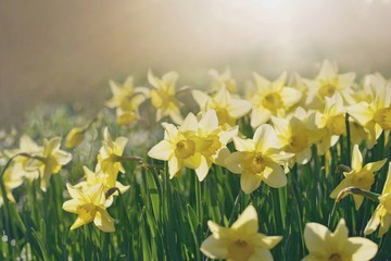 Foto op Canvas Narcis Spring flowers in the morning light, beautiful daffodils - Narcissus plant