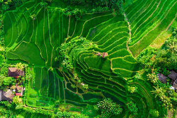 aerial view of green fields green rice and corn fields in Bali, Indonesia 壁紙(ウォールミューラル)