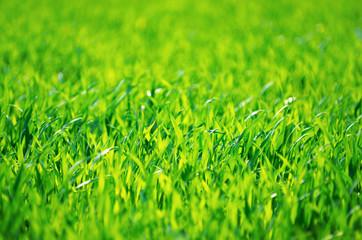 Wall Mural - Green grass texture from a field