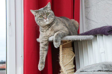 A picture of a cute british cat lying on a scrapper, looking a bit foolish, but relaxed.
