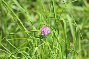 Flower of the red clover between the grass in Park Hitland in Nieuwerkerk aan den IJssel in the Netherlands