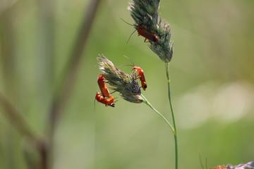 Rhagonycha fulva or Common red soldier beetle on grass polls in Park Hitland in Nieuwerkerk aan den IJssel in the Netherland