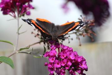 Atalanta or Nûmerflinter on flowers of the  Butterfly-bush in Nieuwerkerk aan den IJssel in the Netherlands