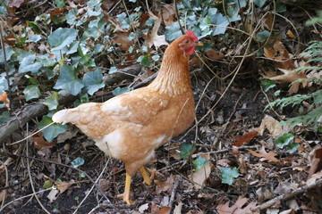 Brown chicken searching for food in Park Hitland in Nieuwerkerk aan den IJssel in the Netherlands