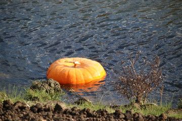 Pumpkin is floating in the water after halloween party in the Netherlands