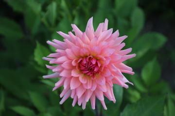 Pink cactus dahlia in a garden in Park Hitland in nieuwerkerk aan den IJssel the Netherlands