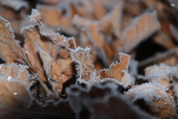 Frozen brown leaves in the morning on the beeche hedge in nieuwerkerk aan den IJssel in the Netherlands