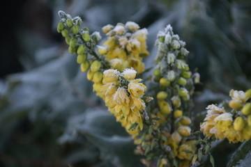 Yellow flowers and green leaves of mimosa plant frozen with ice in Nieuwerkerk aan den IJssel in the Netherlands