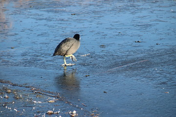 A coot is standing with one foot on the ice on the water in Park Hitland in Nieuwerkerk aan den IJssel in the Netherlands