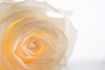 beautiful white rose macro with white background