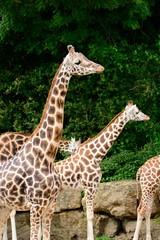 Close up of a group of giraffes