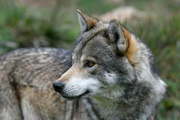 Photo sur Toile Loup Europäischer Wolf (Canis lupus lupus) - gray wolf