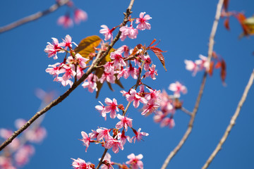 Wild Himalayan Cherry blossom pink flora on branch tree beautiful on blue sky background