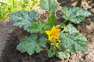 Zucchini blooms in the garden