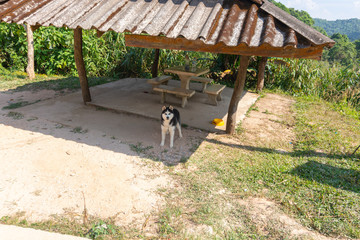 siberian husky on top of the hill in Pilok,Thong Pha Phum National Park kanchanaburi , Thailan