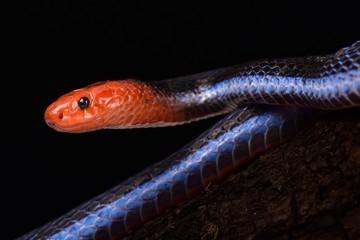 Wall Mural - Blue Malaysian Coral Snake (Calliophis bivirgata flaviceps)