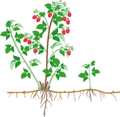 Parts of plant. Morphology of raspberry shrub with berries, green leaves, root system isolated on white background